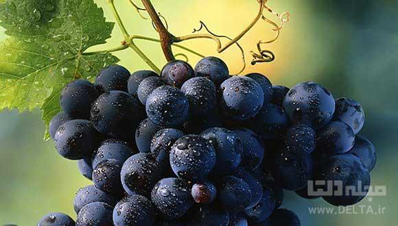 جشن انگور ؛ ارومیه ، اراک