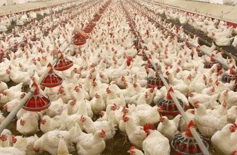 عوارض صادراتی مرغ کاهش یافت
